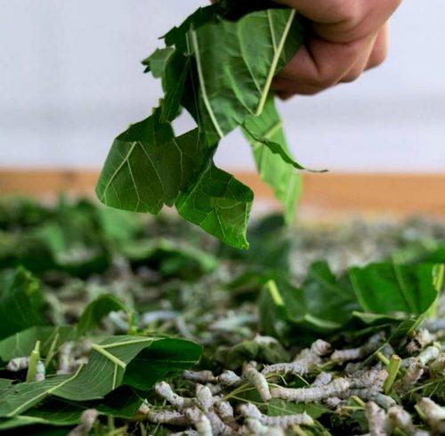 nido-di-seta-bachi-mangiano-le-foglie-di-gelso